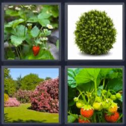 4 fotos 1 palabra fresas planta