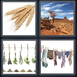 4 fotos 1 palabra espigas de trigo