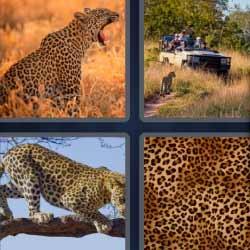 4 fotos 1 palabra pantera safari felino